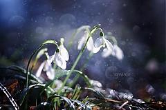 Fotografie - ...snezienky I... - 3749155_