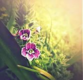 Fotografie - nesměle vykukují - 3847151_