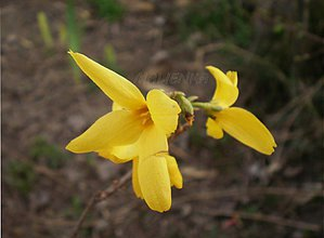 Fotografie - Zlatý dážď - 3866697_