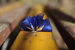 Náušnice - ...zvoní modře - 3932196_