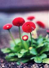 Fotografie - červené čiapočky - 3940567_