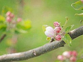 Fotografie - Apple blossom 1. - 3942335_