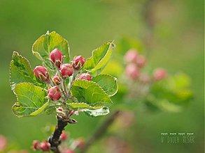 Fotografie - Apple blossom 2. - 3942351_