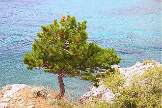 Fotografie - Borovica - 4050503_