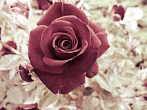 Fotografie - Rose - 4261634_