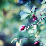 Fotografie - Šípkový čaj II. - 4452869_
