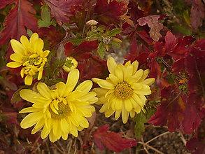 Fotografie - Žlté chryzantémy - 4684748_