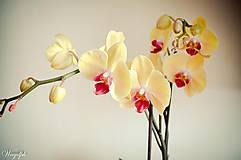 Fotografie - Rozkvitnutá krása - 5074375_