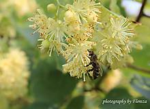 Fotografie - Vôňa lipových kvetov - 5293951_
