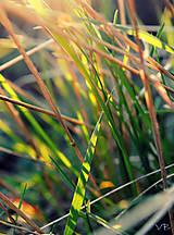 Fotografie - Slnko v tráve - 5319487_