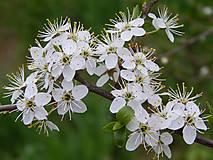 Trnky v kvete