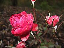 Fotografie - Radosť z ruže - 5342959_