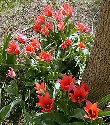 Fotografie - Lososové tulipány - 5436427_