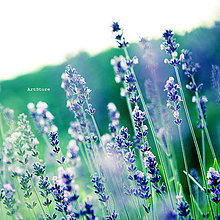 Fotografie - Svieža vôňa levandule - 5575026_