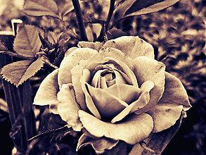 Fotografie - Rose - 5673957_