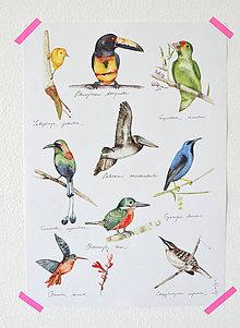 Grafika - Poster Vtáci Strednej Ameriky - 5686214_