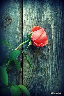 Fotografie - Rose - 5786163_