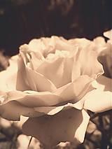 Fotografie - Rose - 6069472_