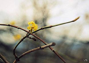 Fotografie - Žltý na konári - 6587881_