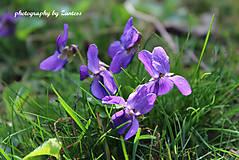 Fotografie - Autorská fotografia: Fialky v tráve - 6648869_