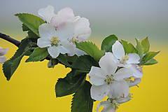 Fotografie - kvet jablonky.. - 6678704_
