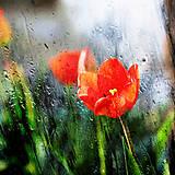 Fotografie - tulipány v daždi - 6877277_