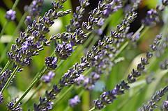 Fotografie - Lavender - 6889474_