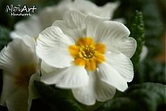 Fotografie - Prvý posol jari u nás doma - 1096841