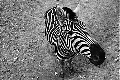 Fotografie - Fotografia Zebra - 1309084
