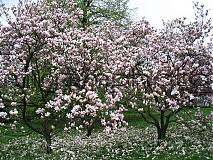 Fotografie - Magnóliová záhrada - 1346481