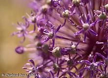 Fotografie - Allium - 1499519