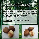 Brest (Ulmus)