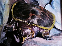 Kresby - Apalone ferox - 1955696
