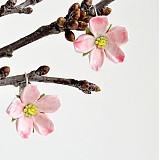 Náušnice - Jabloňové kvítky na ouška - 2508307