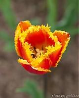 Ohnivý tulipán 2
