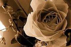 Fotografie - Rose/Ruža - 2678613