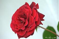 Fotografie - Ruža červená - 2714824
