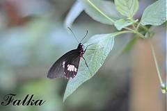 Fotografie - Na krídlach motýla I. - 2858259