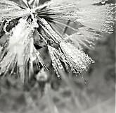 Fotografie - ranní rosou zkropené - 3130372