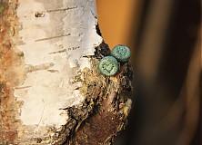 Náušnice - Naušnice zeleno perleťové - 3406426