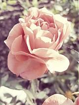 Fotografie - Rose* - 3473440