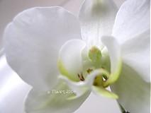 Fotografie - orchidea 01 - 3528707