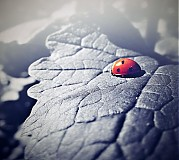 Fotografie - ladybird in red II - 3606946
