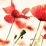 Fotografie - Poppy passion - 425952