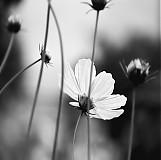 Fotografie - Môj biely kvet pre Nórsko - 672806