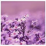 Obrazy - Violet Dreaming - 809845