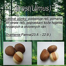 Drobnosti - Brest (Ulmus) - 1894630