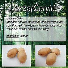 Drobnosti - Lieska (Corilus) - 1894632