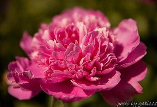 Fotografie - Ružová pivónka - 2739549