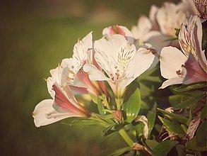 Fotografie - alstromeria - 2818197